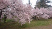 高梨城の桜